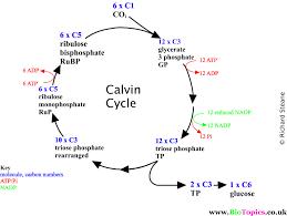 Light Independent Reactions Definition Light Independent Reactions Calvin Cycle Cycle