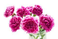 Purple Carnations Purple Carnations Stock Photos Images U0026 Pictures 637 Images