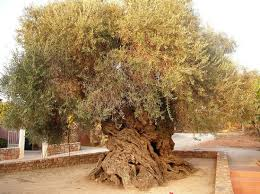 olive tree of vouves top 10 trees toptenz net