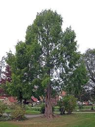 dawn redwood tree names and pictures of metasequoia glyptostroboides