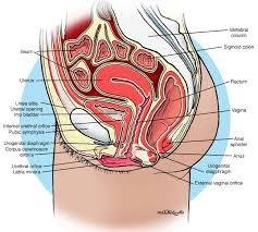 Female Urinary System Anatomy Anatomy Urinary System Female Urethra Anatomy Pictures With
