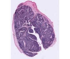 cat thymus cat dissection