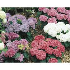 shop shrubs at lowes com