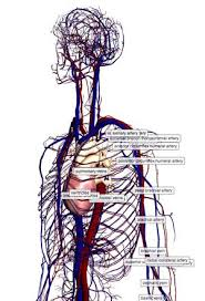 Human Anatomy Respiratory System 18 Human Anatomy Respiratory System