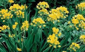 allium flowers alliums all season gardening