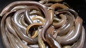 Seeking Eel Eel Passage Research Center