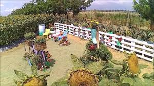 Grinter Farms Tayug Pangasinan A Maze Ing Sunflower Farm Youtube