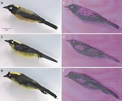 bird figures ultraviolet plumage reflectance distinguishes sibling bird species