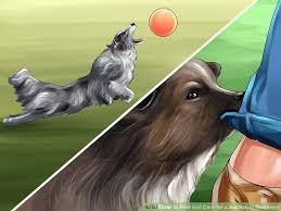 australian shepherd kinds 5 ways to find and care for a australian shepherd wikihow