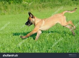 belgian sheepdog training malinois puppy dog 4 months old stock photo 80500228 shutterstock