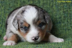 australian shepherd 8 wochen wurf fairy floss miss moneypenny x radiant lethal weapon riggs