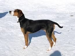 afghan hound saddle finnish hound wikipedia