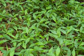 escape of the invasives top six invasive plant species in the ima our stories and perspectives