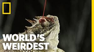 Horny Toad Meme - blood shooting eyes world s weirdest youtube