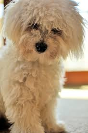 poodle x bichon frise 11 best bichon frise cotton balls images on pinterest bichons