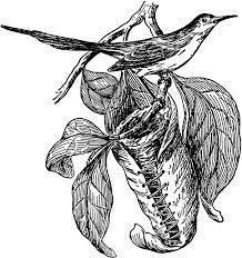 tailorbird clipart etc
