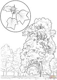 tulip tree or yellow poplar coloring page free printable