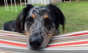 australian shepherd catahoula mix meet jackson the australian shepherd mix on pack