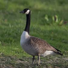 canada goose wikipedia