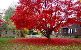 maple tree naples
