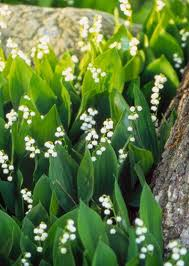 Lily Flower Garden - top 25 best lily of the valley ideas on pinterest stephanotis