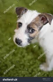 australian shepherd jack russell terrier parson jack russell terrier mix puppy stock photo 133182374