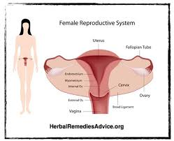 Female Anatomy Organs The 25 Best Female Reproductive System Ideas On Pinterest