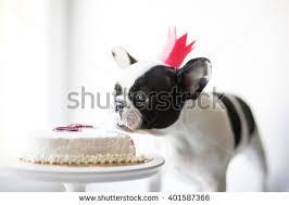 york dog eats small birthday cake stock photo 401587411 shutterstock