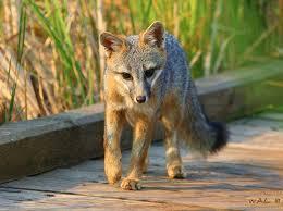Delaware travel fox images Delaware state wildlife animal grey fox delaware pinterest jpg