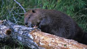 dam beavers national geographic channel asia