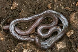 Plains Blind Snake Wild Herps Texas Threadsnake Rena Dulcis