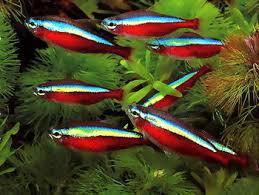 Buy Ornamental Fish Ornamental Fish Cardinal Tetra Buy Tetra Fish Tropical Fish