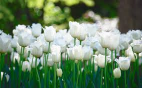 white tulips flower white tulips flowers beautiful green nature tulip