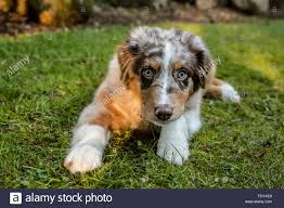 7 month old australian shepherd puppy red merle stock photos u0026 red merle stock images alamy