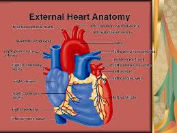 External Heart Anatomy Anatomy Abdominal Cavity Thoracic Cavity Reproductive System
