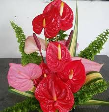 anthurium flower mahima plant nursery home