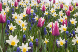 Ideas For Daffodil Varieties Design Combining Tulips With Annuals And Perennials