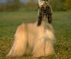 afghan hound therapy dog cutest dog 1 afghan hound photomoto