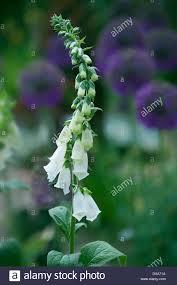white foxglove stock photos u0026 white foxglove stock images alamy
