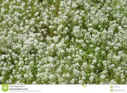 Baby Breath Flowers Field Of Baby Breath Flowers Stock Photo Image 87799303