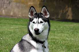 86 husky hd wallpapers backgrounds wallpaper abyss page 3