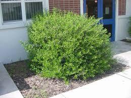 native plants florida uf ifas extension polk gardening native shrubs for central florida