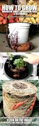 Container Gardening Potatoes - how to grow sweet potatoes in 5 easy steps gardening tips