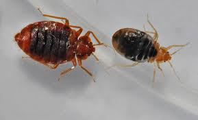 What Causes Bed Bugs To Come Bed Bugs Advice On Identification And Control Of Biting Bed Bugs