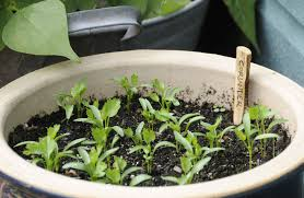 how to grow herbs from seed on your windowsill the independent