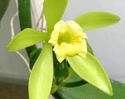 vanilla orchid vanilla orchid etsy