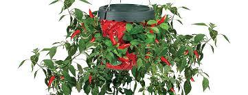 kitchen chili pepper wall art chili pepper christmas topsy turvy upside down hot pepper planter the green head