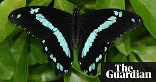 kipepeo butterfly project in pictures environment the guardian