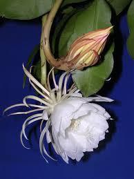 Tropical Fragrant Plants Plants Fragrant Earth