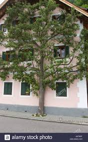 flat tree growing at the house wall in hallstatt stock